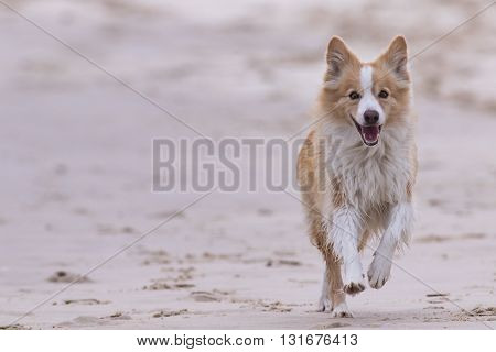 Red border collie running on a beach.