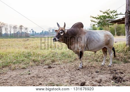 on the field in thailand you see a bull