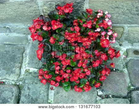 Seed begonia growing in an old cobbled street