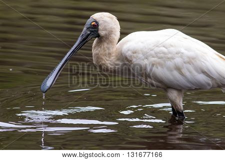 Royal spoonbill (Platalea regia) wading in a creek with drops of water falling from its beak. Northern NSW, Australia.