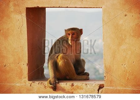Friendly macaque sitting in a square sitting in a hole sitting in a wall. Jaipur Rajasthan India