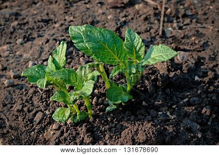 the green shoots of young potato plants sprouting from the clay in the spring
