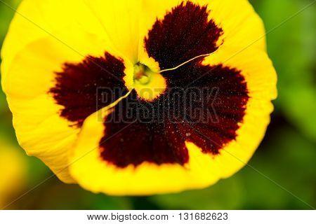 Heartsease Yellow Brown Flower Blooming