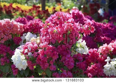 Bougainvillea flower, fresh and colorful flowers, beautiful flowers.