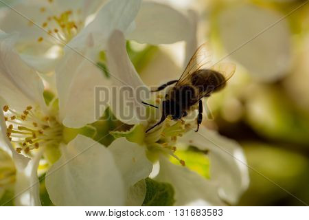 Bee On Blossoming Flowers