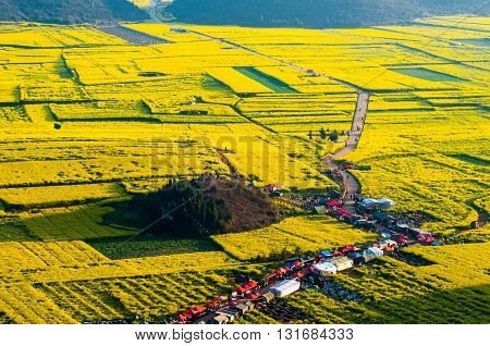 Yellow rapeseed flower field in Luoping, China