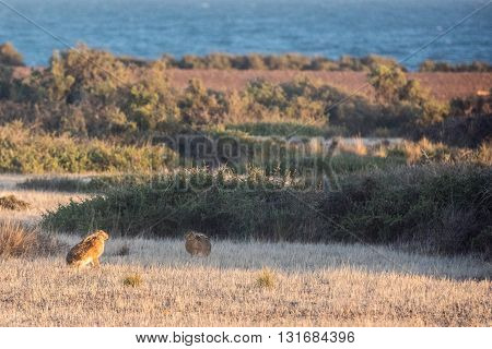 Hare Standing On The Grass And Looking At You