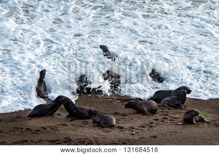 Sea Lion On Foam And Sea Wave