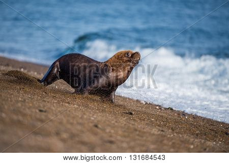 Male Sea Lion On The Beach Running Away