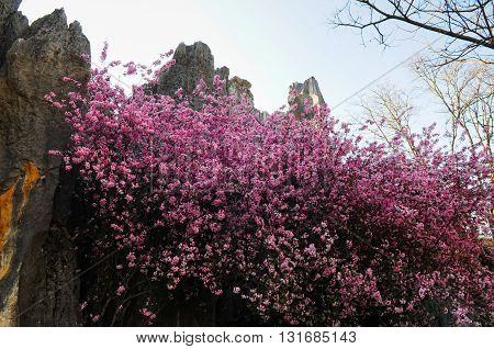 Cherry flowers bloom in Stone Forest, Kunming, Yunnan, China