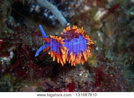 Brilliantly colored Spanish Shawl Nudibranch found off of central California's Channel Islands.