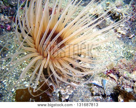 Brown Tube-dwelling Anemone found off of central California's Channel Islands.