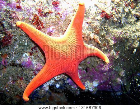 Vermillion Sea Star (also called Red Sea Star) found off of central California's Channel Islands.