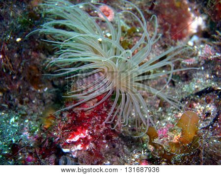 Tan Tube-dwelling Anemone found off of central California's Channel Islands.