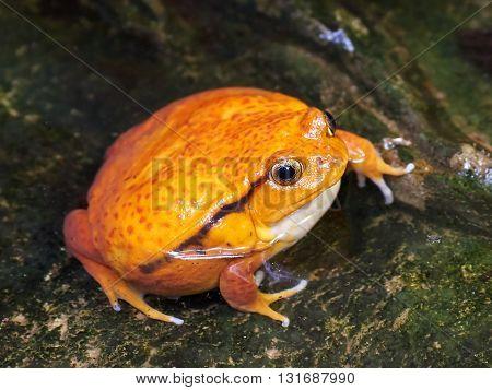 Sambava tomato frog (Dyscophus guineti) sitting in water in its habitat