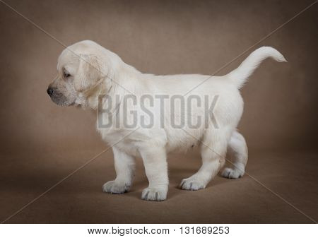 Cute little Labrador puppy standing in front of beige background