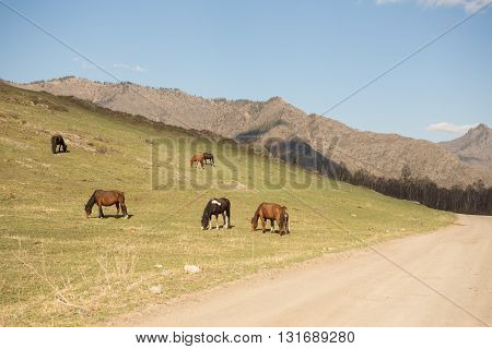 a herd of horses at pasture in the mountains in the spring
