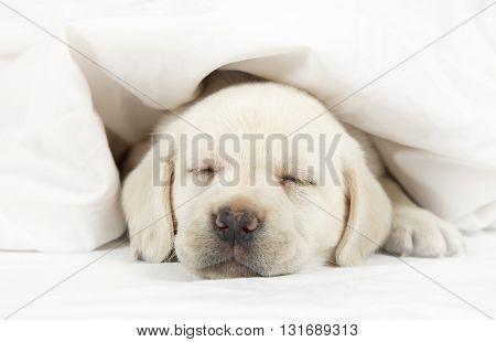 Six weeks old purebred Labrador puppy sleeping in a bed covered by a blanket