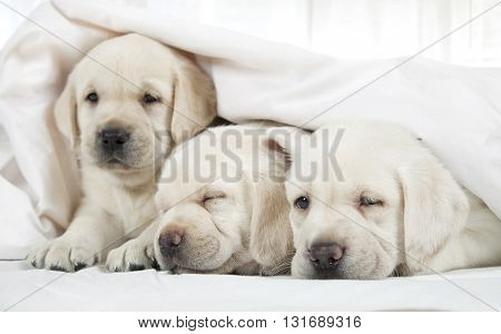 Six weeks old purebred Labrador puppies lying in a bed covered by a blanket