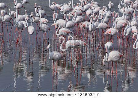 Greater flamingos in Ras Al Khor wildlife sanctuary