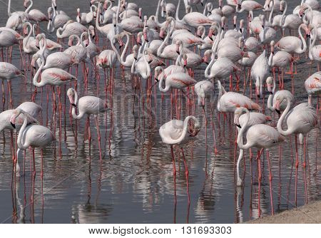 flock of Greater Flamingo standing on lake