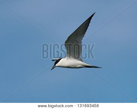 Gull-billed tern (Gelochelidon nilotica) in flight with blue skies in the background