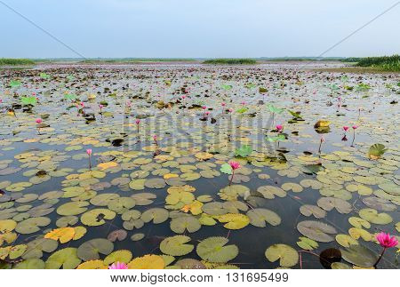 Beautiful pink water lily in lotus swamp at Talay-Noi Wetland in Phattalung province Thailand