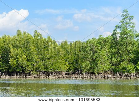 Landscape of tropical mangrove forest and oyster farming in Phang Nga Bay National Park Thailand. Oyster culture using rubber tyres as cultch.