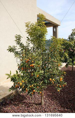 on a tree in an orchard of citrus fruit, tangerines, oranges and lemons