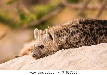Baby hyena resting its head on the ground