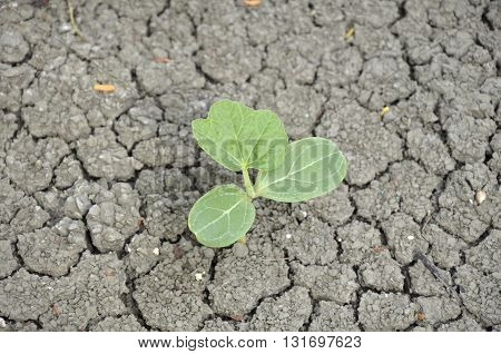 Seedlings of watermelon seeds Grew up on cracked ground