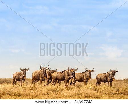 Herd of Wildebeest in the Serengeti national park