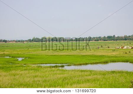 Little lagoon with meadow of cows in morning