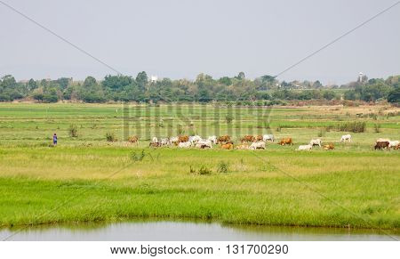 Green grass with cow farm and blue sky