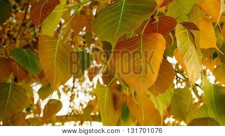 Selective focus of golden Pho or Bodhi tree leaves heart-shaped leaves in sunshine morning. Bodhi trees are planted close proximity to Buddhist monastery