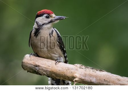Juvenile great spotted woodpecker perched on a branch looking to the right with extended tongue