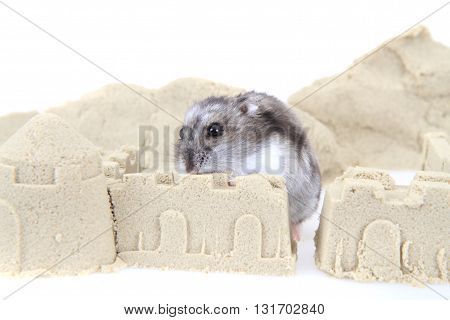Dzungarian Hamster In The Sand Tower