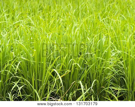 Fresh green rice field. Rice farm garden.