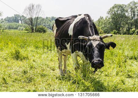 Cattle - Bos Taurus Taurus.