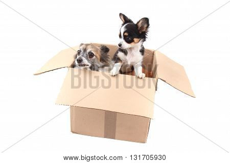 Two Chihuahua In The Paper Box