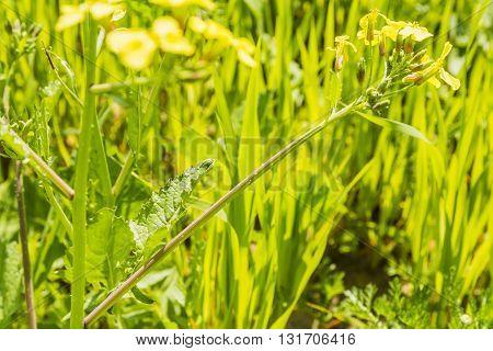Leaf - Raphanus Raphanistrum.