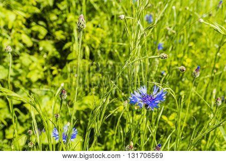 Cornflower (centaurea Cyanus) In The Green Spring Meadow.