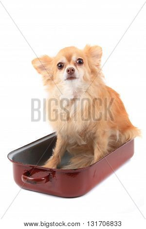 Chihuahua In The Pan