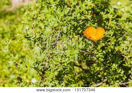 Orange Flower Bush Potentilla Fruticosa L.
