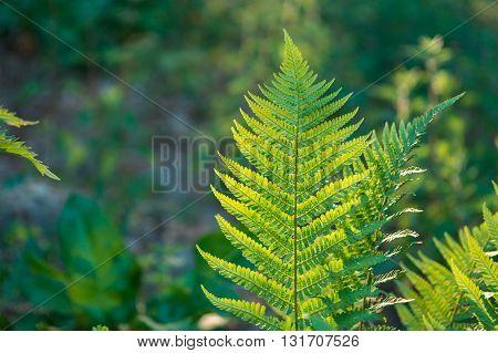 Fern Leaves Growing In Forest In Summer Sunlight