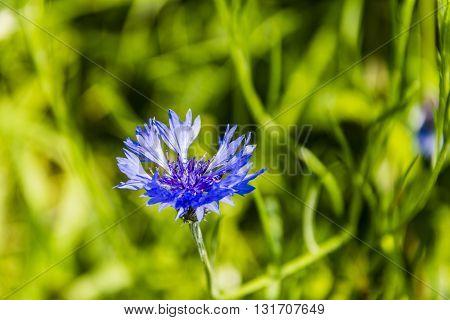 Centaurea Cyanus, Cornflower.