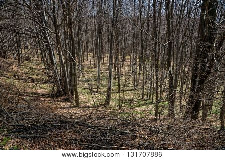 Beech forest in the early spring with folded branches