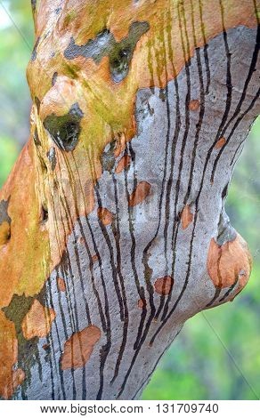 Stripes on colourful bark caused by rainwater running down the trunk of an Australian gum tree