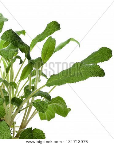 Fresh sage plant, isolated on white background. Fresh, green herb, cooking ingredient.