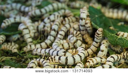 Close up Silkworm eating mulberry green leaf for raw materials for the production of silk